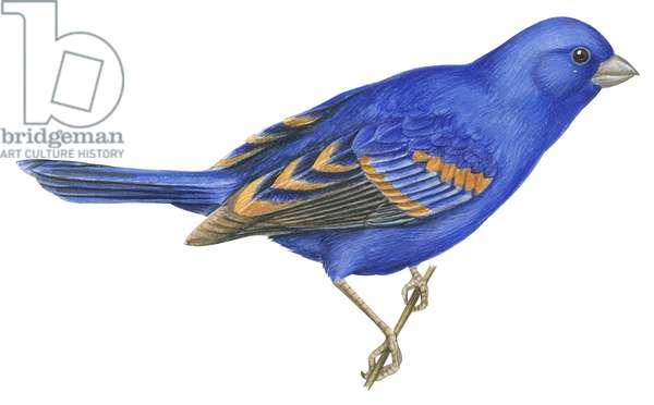 Guiraca bleu ou Gros bec bleu - Blue grosbeak (Passerina caerulea) ©Encyclopaedia Britannica/UIG/Leemage