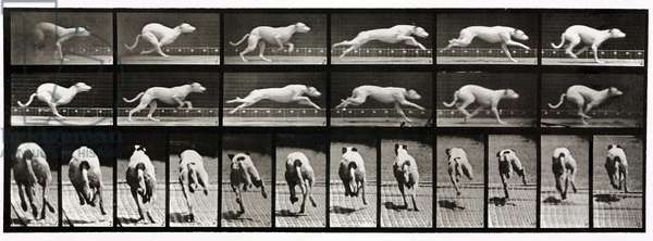 Time-lapse photographs of a greyhound running, 1872-1885