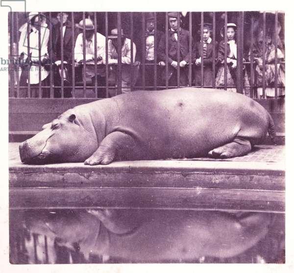 The Hippopotamus at the Zoological Gardens, Regents Park', London, 1852