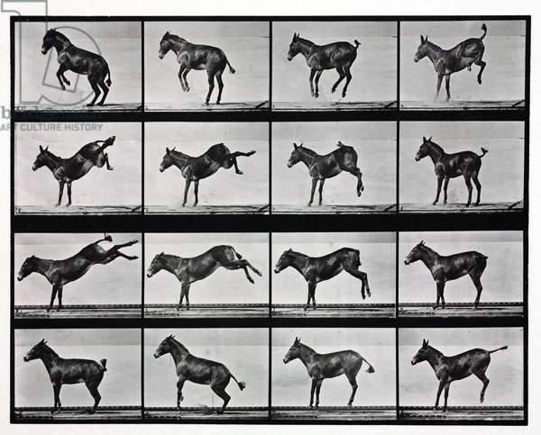 Time-lapse photographs of a mule kicking, 1872-1885