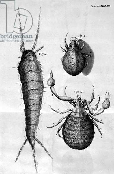 Microscopy, 17th Century Insects, micrographs,Ê 1664