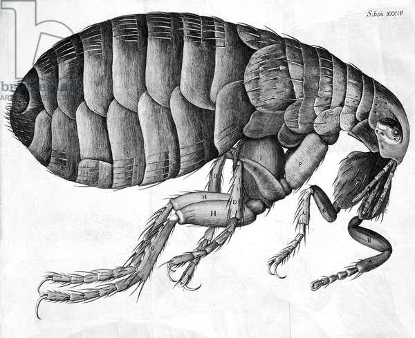 Microscopy, 17th Century Flea, micrograph, 1664