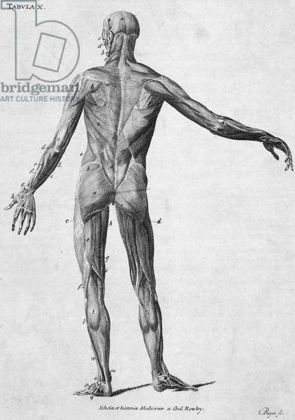 Muscles Human muscular structure, c 1850s