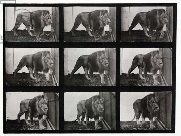 Time-lapse photographs of a lion pacing its cage, 1872-1885