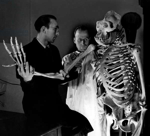 Zoologist, Skeleton of Gorilla, 1949 (b/w photo)