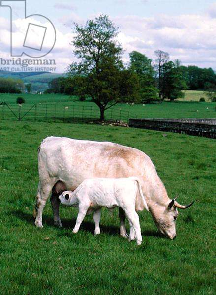 A calf and his mother outside Newton House (photo)