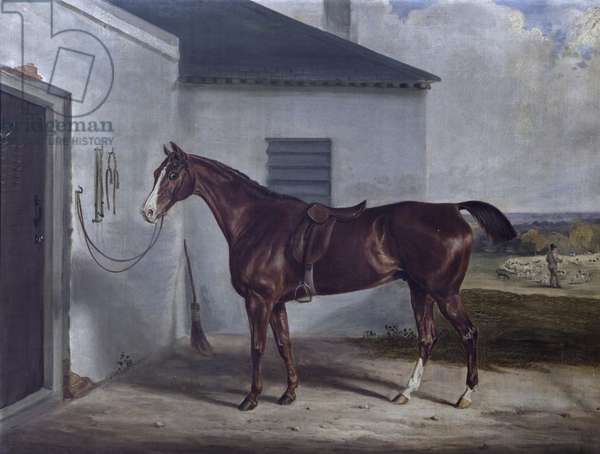 A Chestnut Hunter saddled outside a Stable