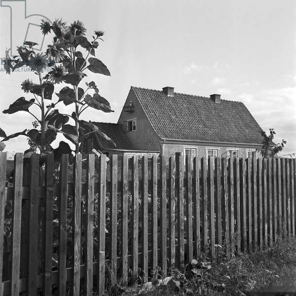 House with sunflowers in the garden at Nikolaiken in Masuria in East Prussia, Germany 1930s (b/w photo)