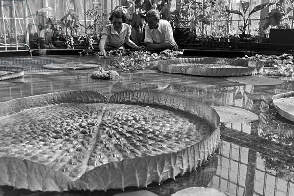 Huge water lilys in the botanical garden Wilhelma in Stuttgart, Germany 1930s (b/w photo)