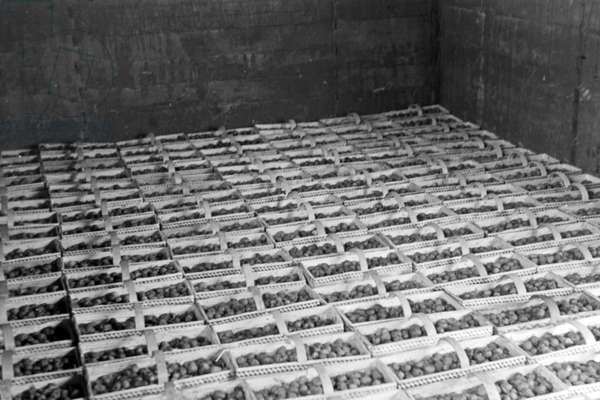 Freshly harvested strawberries waiting for their transport by Deutsche Reichsbahn trains at Buehl station, Germany 1930s (b/w photo)