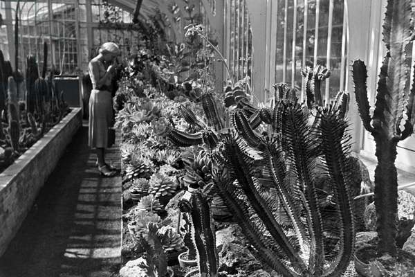 Cactuses in the botanical garden Wilhelma in Stuttgart, Germany 1930s (b/w photo)