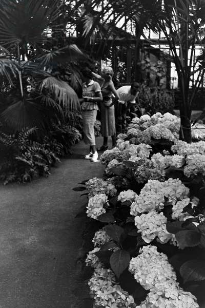 Hydrangeas and other plants in the botanical garden Wilhelma in Stuttgart, Germany 1930s (b/w photo)