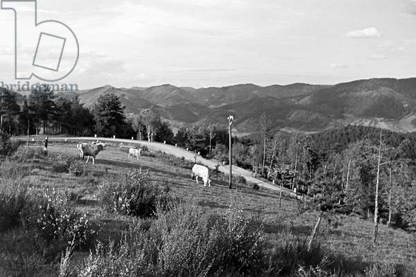 A pasture with grazing cows in the Black Forest, Germany 1930s (b/w photo)