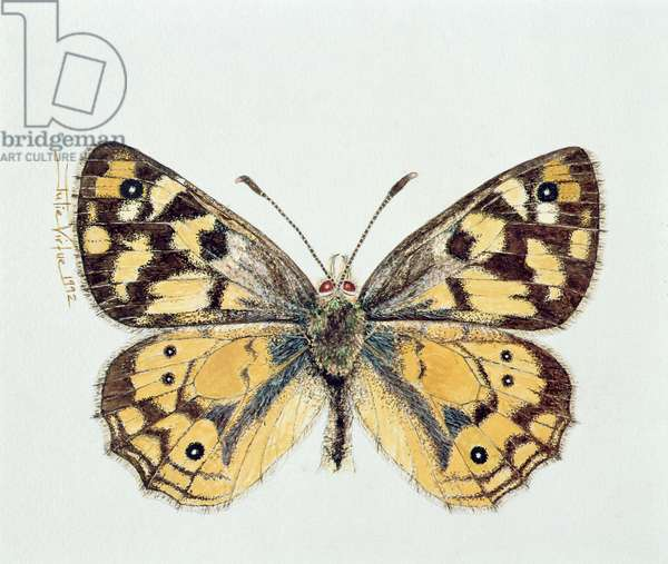 The Shouldered Brown Butterfly (Penelope), 1992 (w/c)
