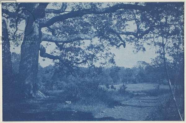 Large Oak at Edge of Meadow, 1890s (cyanotype)