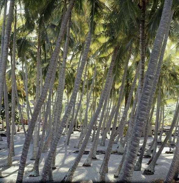 Palm groves around a Marae, temple site, near Hanaunau on the west coast of Hawaii