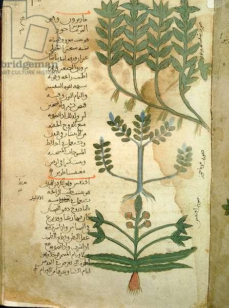 Folio 121r of the Arabic version of Dioscorides' De Materia Medica