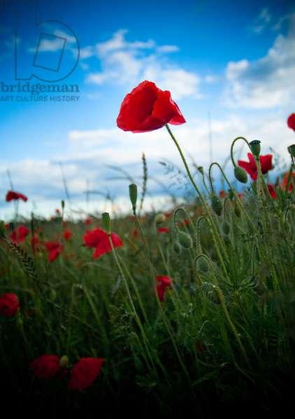 Red poppy flower fields, Warwickshire, 2011 (photo)