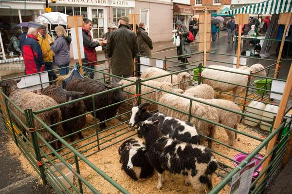 Sheep in pen, Shipston-on-Stour, Warwickshire, 2011 (photo)
