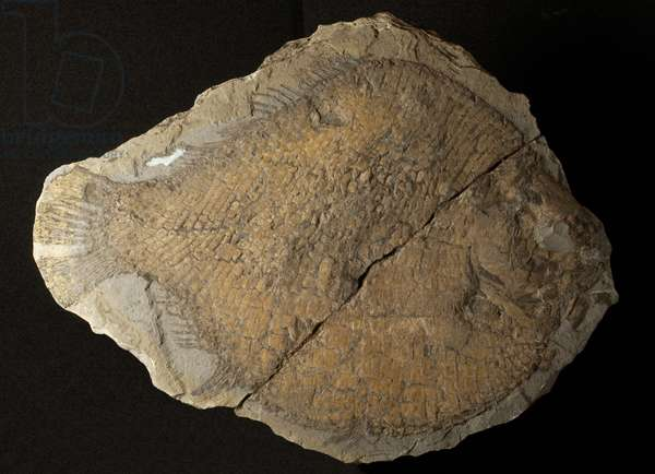 Fish, Dapedium, from the Jurassic Period (photo)