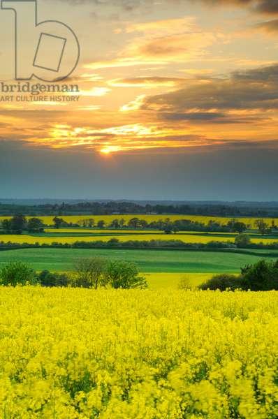 Oil seed rape fields, Chesterton, Warwickshire, 2011 (photo)