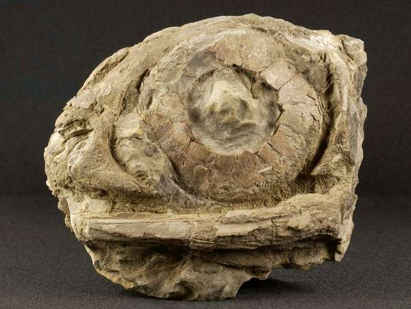Ichthyosaur eye socket, from the Jurassic Period (photo)