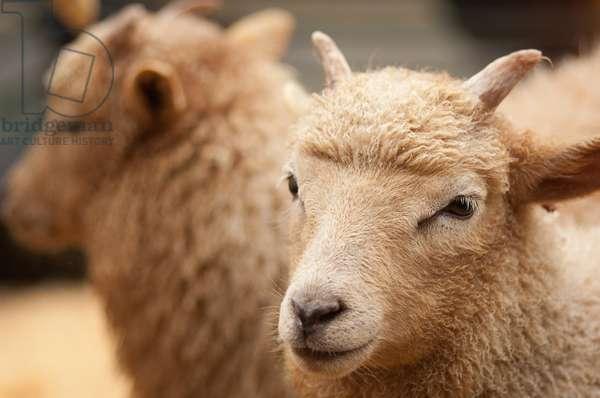 Sheep at Shipston-on-Stour Wool Fair, Warwickshire, 2011 (photo)