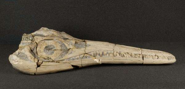 Ichthyosaur skull, side view, from the Jurassic Period (photo)
