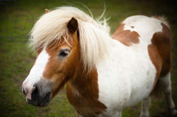 Pony in field, Polesworth, Warwickshire, 2011 (photo)