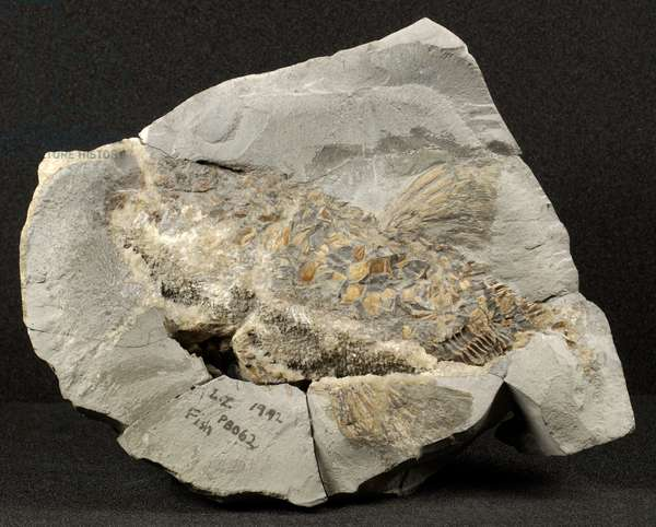 Fish, believed to be Heterolepidotus Eugnathus, from the Jurassic Period (photo)