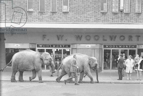 Elephants from Sir Robert Fossett's Circus parade on Queen's Road, Nuneaton, 1974 (b/w photo)