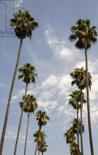 Palm trees at Hollywood Forever Memorial Park final resting place for many a Hollywood star in Los Angeles (photo)