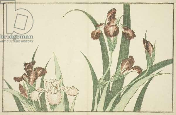 Iris, from The Picture Book of Realistic Paintings of Hokusai (Hokusai shashin gafu), c.1814 (colour woodblock print (album sheet))
