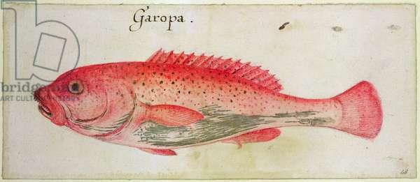 Garopa (w/c on paper)