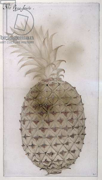 Pineapple, (pencil, w/c & bodycolour on paper)