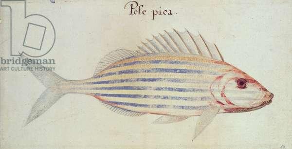 Blue striped grunt fish (w/c on paper)