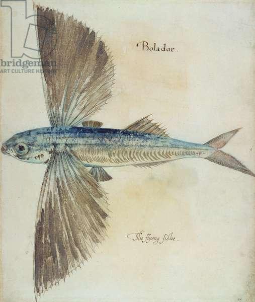 Flying-Fish (litho)