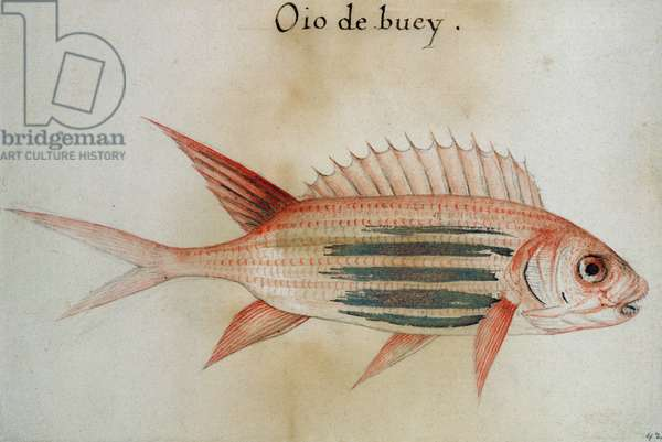 Squirrel fish or Soldier fish (w/c on paper)