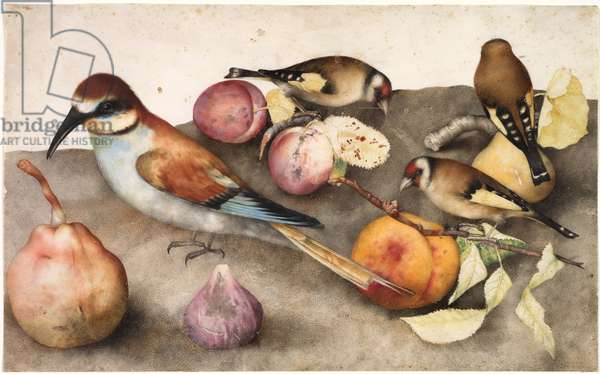 Still Life with Birds and Fruit, c. 1650 (w/c with graphite, heightened with lead white)