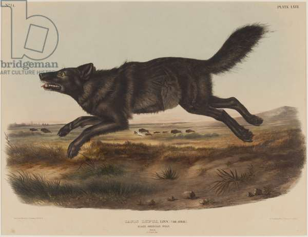 Canis Lupus (Black America Wolf), 1848 (hand-coloured litho)