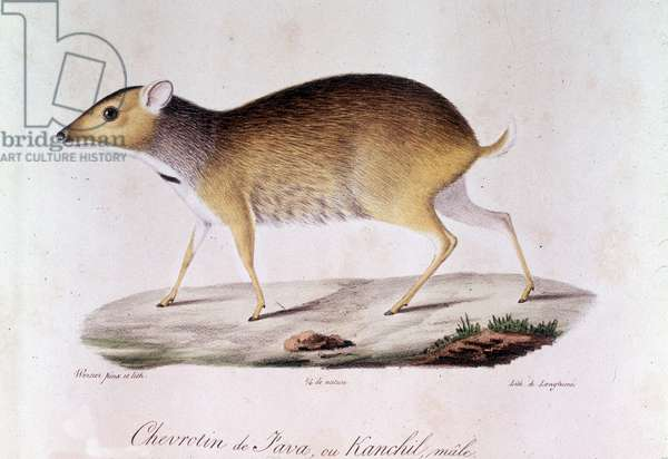 "Chevrotin of Java or kanchil Male - In """" Histoire Naturelle des Mammiferes"""", by Geoffroy Saint Hilaire (Saint-Hilaire) 1819"