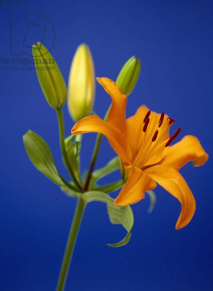 Still life of flower: lily and lily bud.