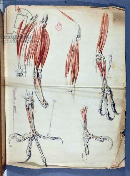 """Anatomy d'une pate d'Aigle published in """"Memoires pour servir a l'histoire naturelle des animaux"""", in Memoires de l'Academie royale des sciences from 1666 to 1699 (1729-1734) by Claude Perrault 1613-1688 - Academie de Sciences - Paris"""