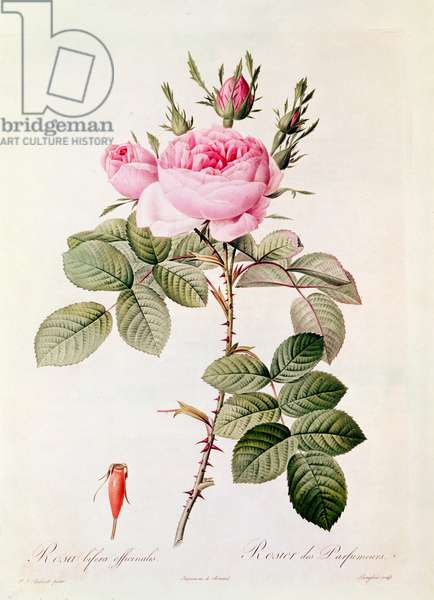 Rosa Bifera Officinalis, from 'Les Roses' by Claude Antoine Thory (1757-1827) engraved by Eustache Hyacinthe Langlois (1777-1837) (coloured engraving)