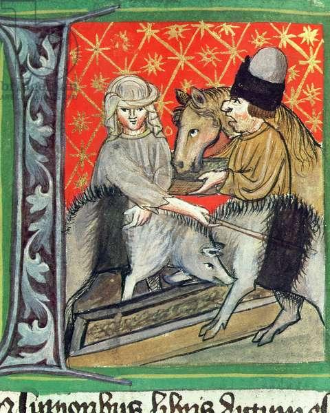 Breeding pigs and horses, from 'Opus Ruralium Commodorum' by Pietro de Crescenzi (1230-1321) (vellum)