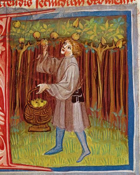 Picking fruit, from 'Opus Ruralium Commodorum' by Pietro Crescenzi (1230-1321) (vellum)