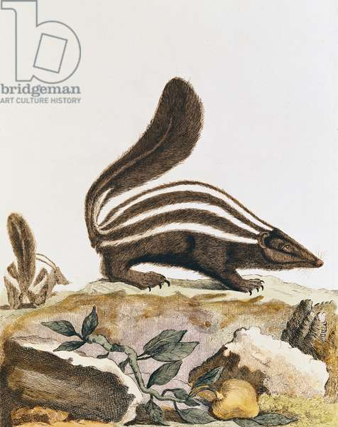 Skunk, from 'Histoire Naturelle' by Georges Louis Leclerc Buffon (1707-88) 1749-1804 (coloured engraving)