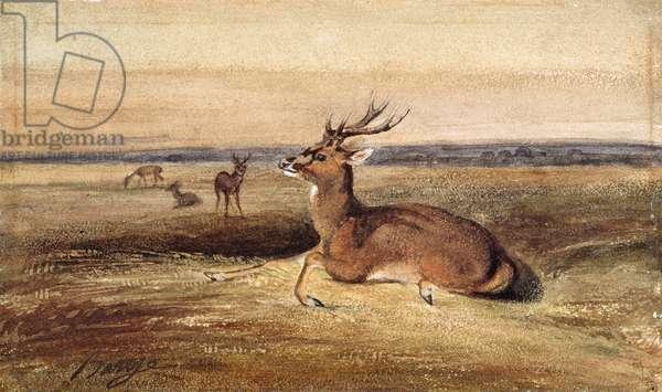 Resting Deer (w/c on paper)