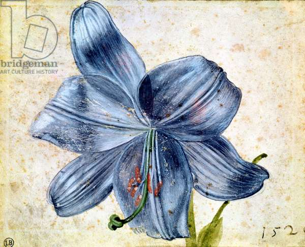 Study of a lily, 1526 (w/c on paper)