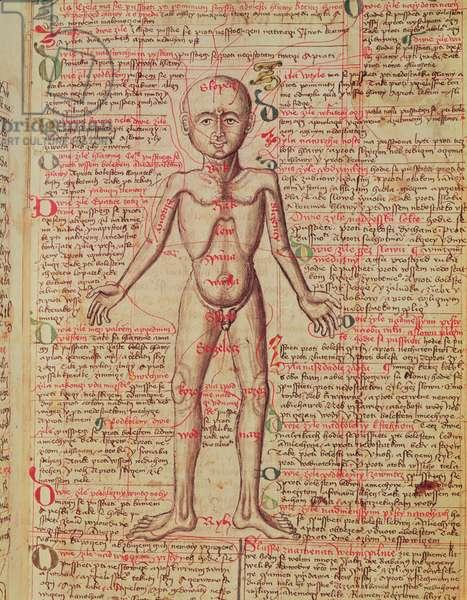 Anatomy of the human body, from 'Tractatus de Pestilencia' (vellum)